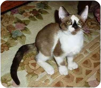 Siamese Kitten for adoption in Gilbert, Arizona - Penny