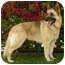 Photo 4 - German Shepherd Dog Dog for adoption in Los Angeles, California - Lilly von Lindberg