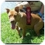 Photo 2 - American Pit Bull Terrier Puppy for adoption in Tampa, Florida - Autumn Rose