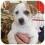 Photo 1 - Corgi/Chihuahua Mix Puppy for adoption in White Settlement, Texas - Sleak