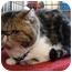 Photo 1 - Persian Cat for adoption in Beverly Hills, California - Irene
