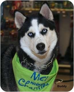 Husky Dog for adoption in Levittown, New York - Buddy