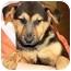 Photo 1 - German Shepherd Dog Puppy for adoption in Oswego, Illinois - I'M ADOPTED Riley Gombash