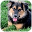 Photo 1 - Australian Shepherd/German Shepherd Dog Mix Puppy for adoption in Sacramento, California - Thor fun, active, happy