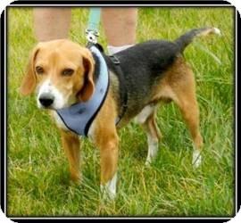 Beagle Dog for adoption in Media, Pennsylvania - Bagel