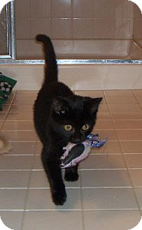 Domestic Shorthair Kitten for adoption in Pittstown, New Jersey - Cubby