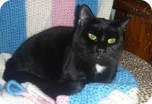 Domestic Shorthair Cat for adoption in Hamburg, New York - Kindle