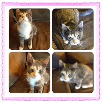 American Shorthair Kitten for adoption in Sterling Heights, Michigan - Cali
