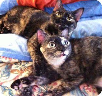 Calico Cat for adoption in Merrifield, Virginia - Noki
