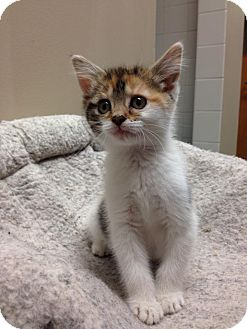 Calico Kitten for adoption in Chicago, Illinois - Rainbow Dash