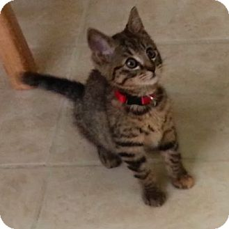 Domestic Shorthair Kitten for adoption in Portland, Oregon - Dijon