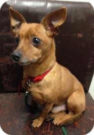 Chihuahua Mix Dog for adoption in Brooklyn, New York - Roger