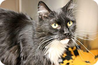 Domestic Longhair Cat for adoption in Columbus, Georgia - Charlotte York 6518