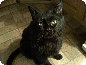 Bombay Cat for adoption in Brooklyn, New York - Puffy