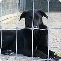 Labrador Retriever/Retriever (Unknown Type) Mix Dog for adoption in Mexia, Texas - Summer