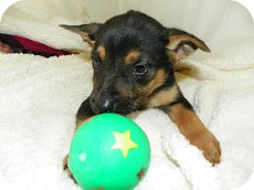 German Shepherd Dog Puppy for adoption in Waldorf, Maryland - Floyd