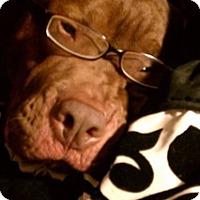 Adopt A Pet :: Shocko~ Courtesy Posting - Phoenix, AZ