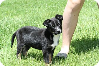 Labrador Retriever/Border Collie Mix Puppy for adoption in West Milford, New Jersey - JUNE