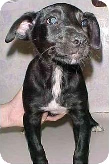 Labrador Retriever/Rottweiler Mix Puppy for adoption in North Judson, Indiana - Smoochie