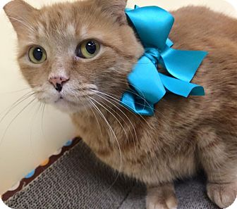 Domestic Shorthair Cat for adoption in Troy, Michigan - Firefly