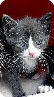 Domestic Shorthair Kitten for adoption in Barnegat, New Jersey - Pinky