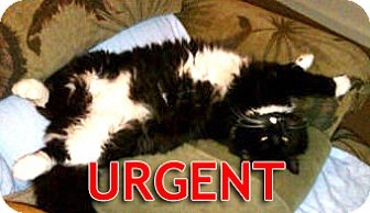 Maine Coon Cat for adoption in Oakland, California - Sylvester-URGENT