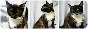 Domestic Shorthair Kitten for adoption in Forked River, New Jersey - Shandy