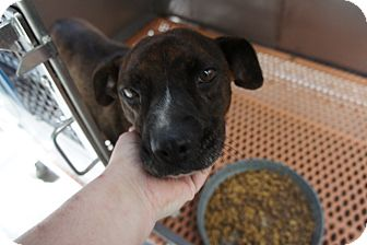 Pit Bull Terrier Mix Dog for adoption in Henderson, North Carolina - Fosters