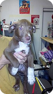 Cattle Dog Mix Puppy for adoption in Newburgh, Indiana - Stark and Link