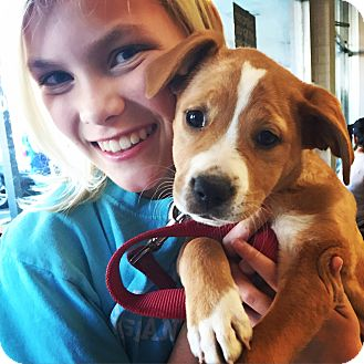 Boxer/Labrador Retriever Mix Puppy for adoption in Hagerstown, Maryland - Charleigh