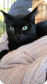 Domestic Shorthair Cat for adoption in Greer, South Carolina - Olive