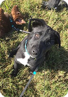 Labrador Retriever Mix Puppy for adoption in Chicago, Illinois - Freddy