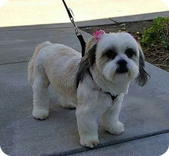 Lhasa Apso Mix Dog for adoption in San Diego, California - Lacy