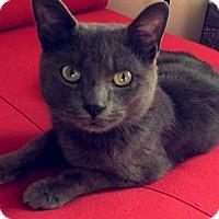 Adopt A Pet :: Blue - Raritan, NJ