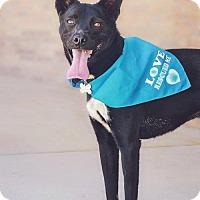 Labrador Retriever/Border Collie Mix Dog for adoption in Helena, Alabama - Bella-Boo