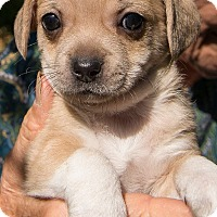 Adopt A Pet :: Puppies - Grass Valley, CA