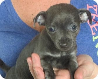 Chihuahua Puppy for adoption in Rochester, New York - LuLu