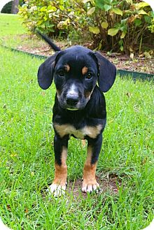 Labrador Retriever/Beagle Mix Puppy for adoption in Hagerstown, Maryland - Poppy