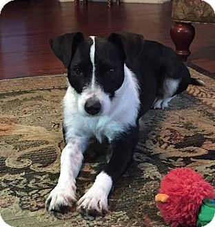 Terrier (Unknown Type, Small) Mix Dog for adoption in San Antonio, Texas - Daisy