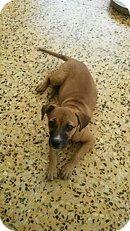 Retriever (Unknown Type) Mix Puppy for adoption in Walden, New York - Jes