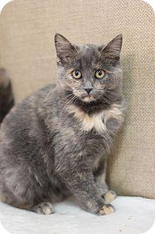 Domestic Shorthair Kitten for adoption in Midland, Michigan - Minados