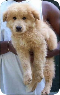 Golden Retriever/Chow Chow Mix Puppy for adoption in Campbellsville, Kentucky - Caleb