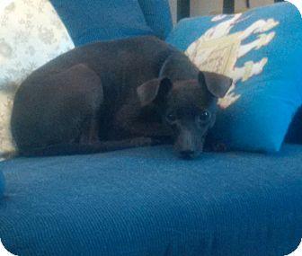 Miniature Pinscher Dog for adoption in Bridgeton, Missouri - April