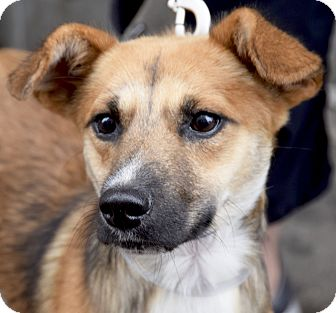Sheltie, Shetland Sheepdog/Terrier (Unknown Type, Small) Mix Dog for adoption in New York, New York - Dutch! Ready for Play!