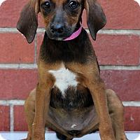 Adopt A Pet :: Corrina - Waldorf, MD