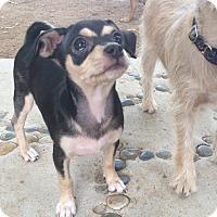 Miniature Pinscher/Chihuahua Mix Puppy for adoption in Scottsdale, Arizona - Katarina (Kat)
