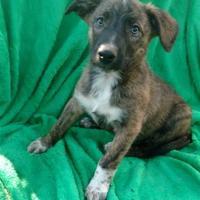 Adopt A Pet :: Larken($400) Available 8/26 - Redding, CA