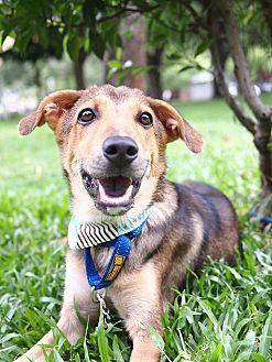 Shepherd (Unknown Type)/Labrador Retriever Mix Puppy for adoption in San Mateo, California - Jacob
