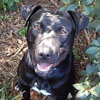 Adopt A Pet :: Tank - Charlotte, NC