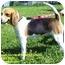 Photo 2 - Beagle Mix Dog for adoption in Somerset, Pennsylvania - Dixie